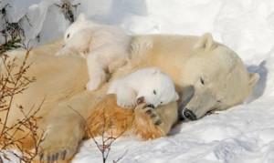 polar_bears_sleep-300x179