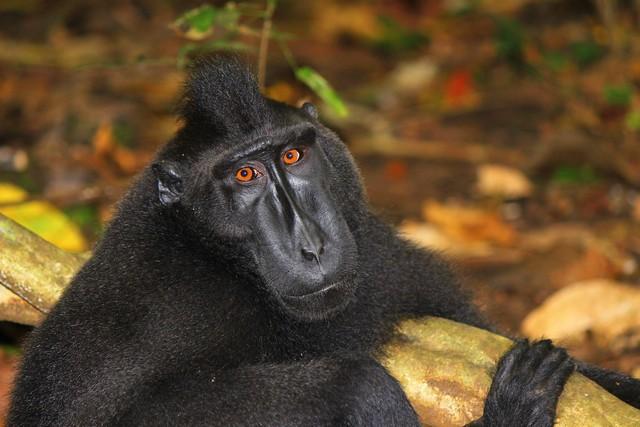 macaque3