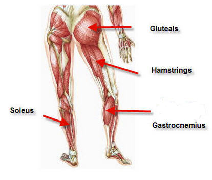 muscles_calf_lower legs